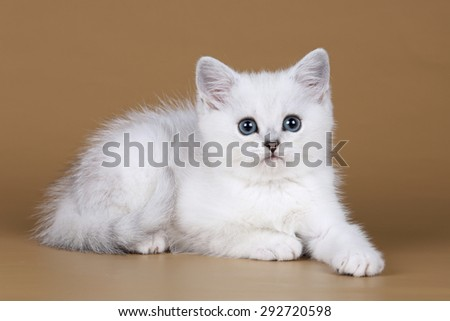 cute white kitten on a beige background