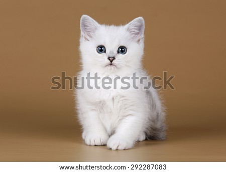 Cute white kitten on a brown background