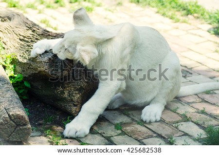 Cute white lion cub in Beograd zoo. - stock photo