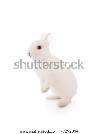 Cute white Netherland Dwarf bunny rabbit isolated - stock photo