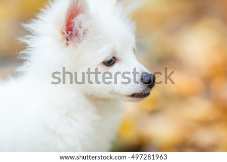 Cute white pomeranian spitz puppy outdoor in autumn leaves