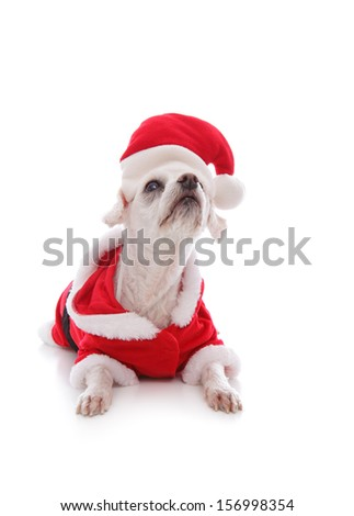 Cute white puppy dog wearing a santa clause suit and looking up intently.   White background. - stock photo