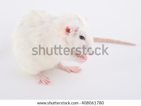 Cute white rat sitting on its hind paws (selective focus on the rat nose and paws) - stock photo