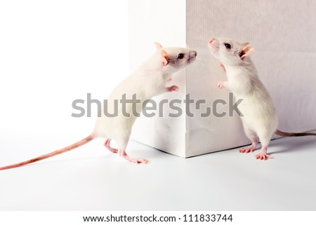 cute white rats examine a white bag - stock photo