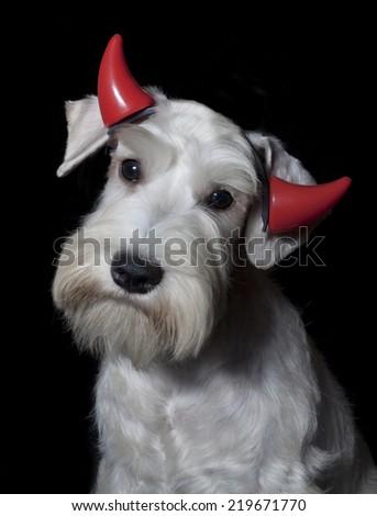 cute white schnauzer dog wearing red devil horns on black background - stock photo