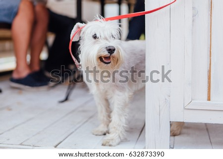 Cute white Scottish Terrier under the table