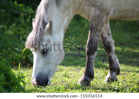 Cute white shetland pony eating grass in summer - stock photo