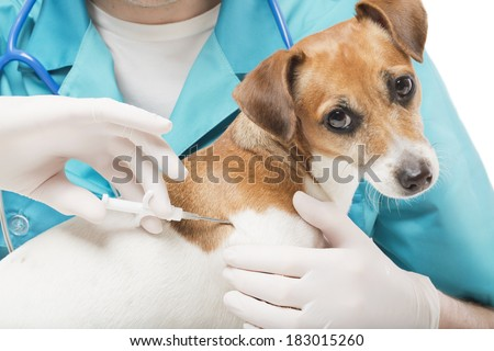cute white small dog gets a special syringe vet microchipping mandatory for eu pets in the veterinary clinic - stock photo