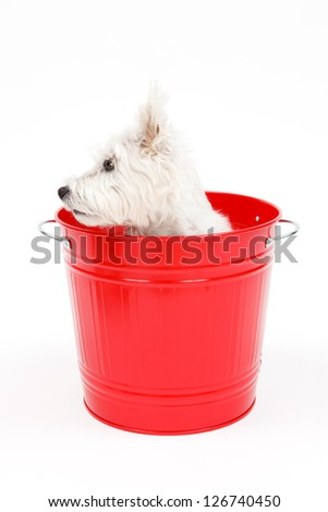 Cute white terrier dog that went into the bucket