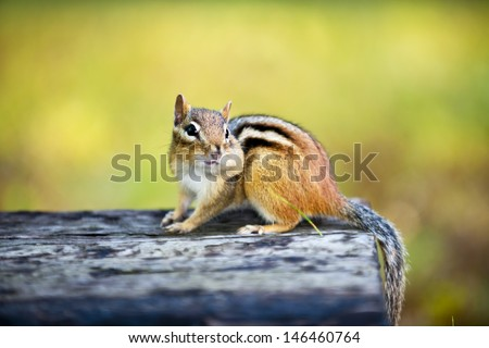 Cute wild chipmunk with one stuffed cheek standing on wooden log - stock photo