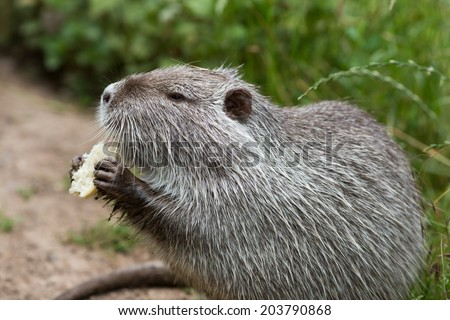 Cute wild furry coypu (river rat, nutria) eating bread on the riverside near the green grass, close up - stock photo