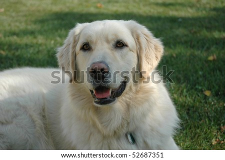 Cute yellow dog - stock photo