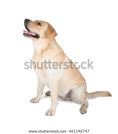 Cute Yellow Labrador Retriever dog sitting isolated on white