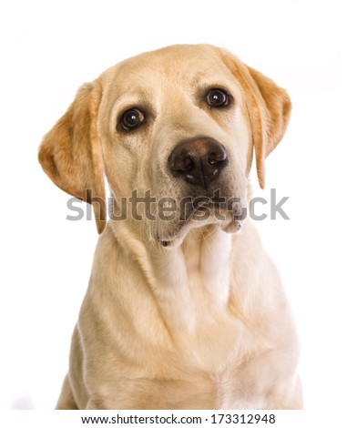 Cute yellow labrador retriever puppy head shot isolated on white background - stock photo