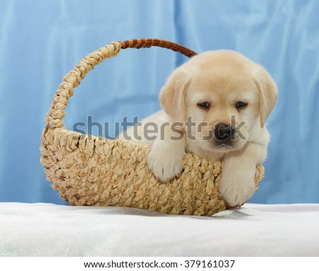 Cute Yellow Labrador retriever puppy sitting in a basket.