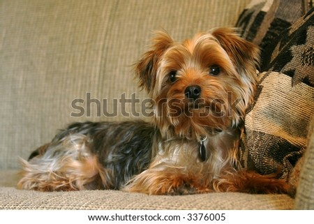 cute yorkie on couch