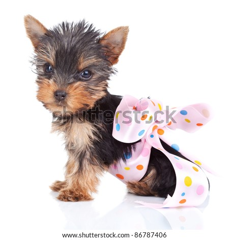cute yorkie toy in a pinky bow on white background - stock photo