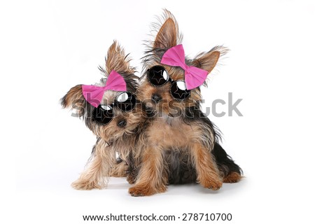Cute Yorkshire Puppies Dressed up in Pink - stock photo