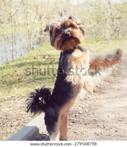 Cute yorkshire terrier dog playing outdoors in the park - stock photo