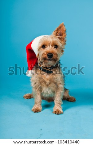 Cute Yorkshire terrier dog with christmas hat isolated on light blue background. Studio shot. - stock photo