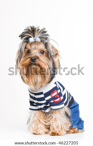 Cute Yorkshire terrier in pullover, studio shot over white background - stock photo