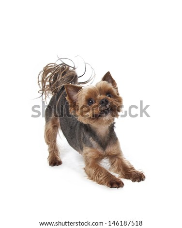 cute Yorkshire terrier isolated on white, yorkshire terrier - stock photo