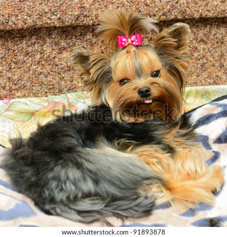 cute yorkshire terrier on the sofa