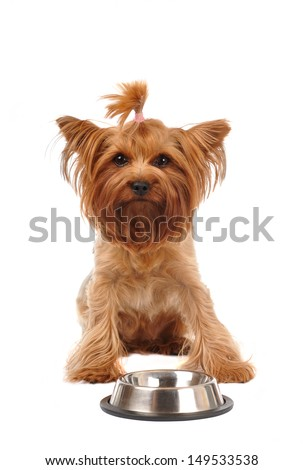 Cute yorkshire terrier portrait with empty metalic bowl looking at camera isolated on white - stock photo