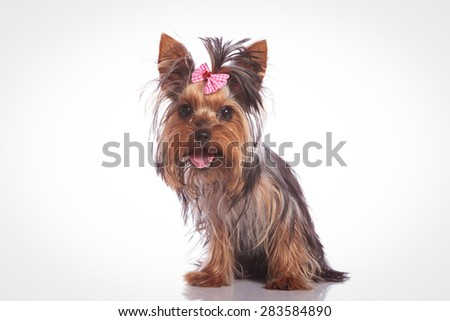 cute yorkshire terrier puppy dog  sitting on studio background and looking at the camera with mouth open and tongue exposed - stock photo