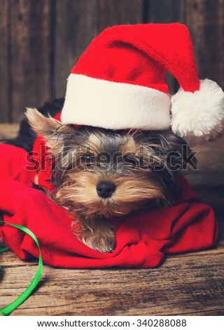 Cute Yorkshire terrier puppy in a Santa hat at Christmas - stock photo