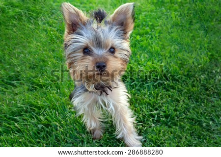 Cute Yorkshire terrier puppy(4 months old) standing in the grass.