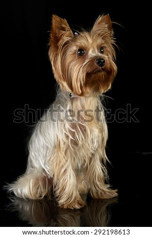 cute yorkshire terrier sitting in a black photo studio