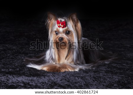 Cute Yorkshire Terrier with red bow sits on black blanket
