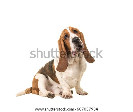 Cute young adult basset hound sitting and facing the camera seen from the side isolated on a white background