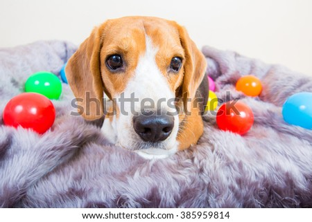 Cute young beagle dog laying on the fur bed with colorful ball