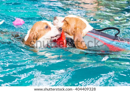 Cute young beagle dog playing toy in the swimming pool - stock photo