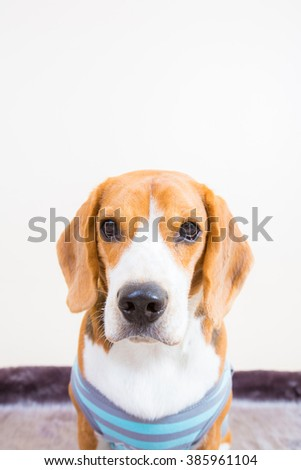 Cute young beagle dog wear T-shirt portrait - close up