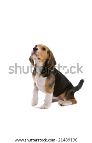 Cute young beagle looking attentive with one leg up