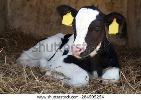 cute young black and white calf lies in straw and looks alert - stock photo