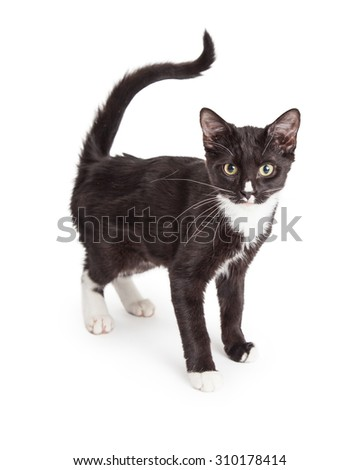 Cute young black and white kitten standing to the side and looking forward into the camera