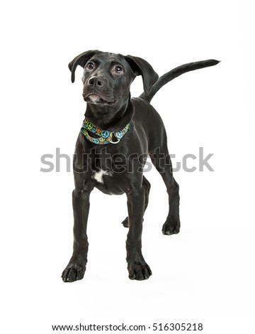 Cute young black Labrador Retriever dog standing over white studio background looking up