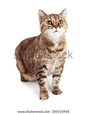 Cute young brown color tabby cat sitting on a white studio background looking up