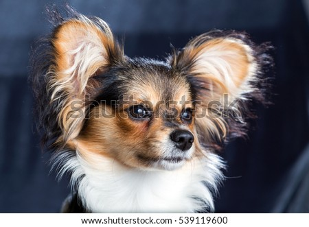 Cute young dog of the Continental Toy spaniel - Papillon