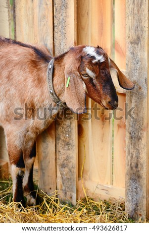 Cute young goat in a courtyard of the farm