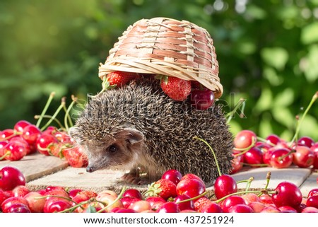 cute young hedgehog, Atelerix albiventris,among berries on a background of green leaves, carries an inverted basket on the back - stock photo