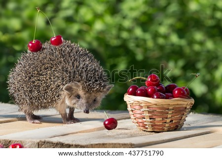 cute young hedgehog, Atelerix albiventris, stands near the wicker basket with sweet cherry on a background of green leaves. berries cherries on the spines of a hedgehog. concept of harvest - stock photo