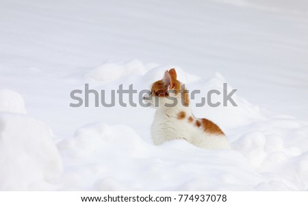 Cute young orange white cat in the snow. Winter landscape with curious kitty.
