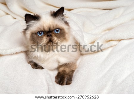 Cute young persian seal colourpoint kitten is lying on a soft bed and looking out from under a white bedspread - stock photo