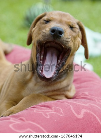 cute young puppy yawning with funny expression in face. - stock photo