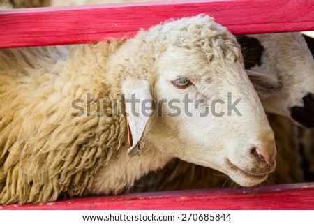 Cute young sheep standing in a farm enviroment - stock photo